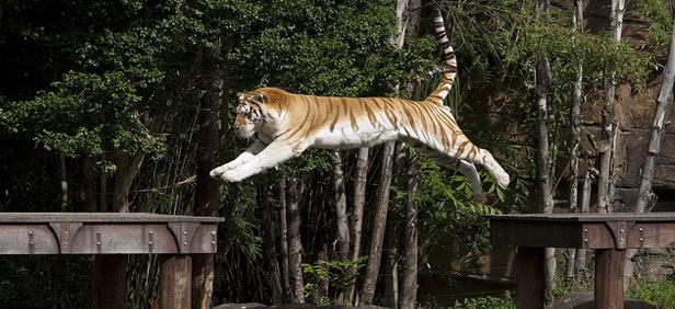 tigers-leap